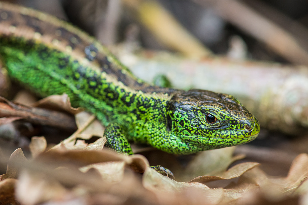 Photograph Sand lizard by Marcel Felber on 500px