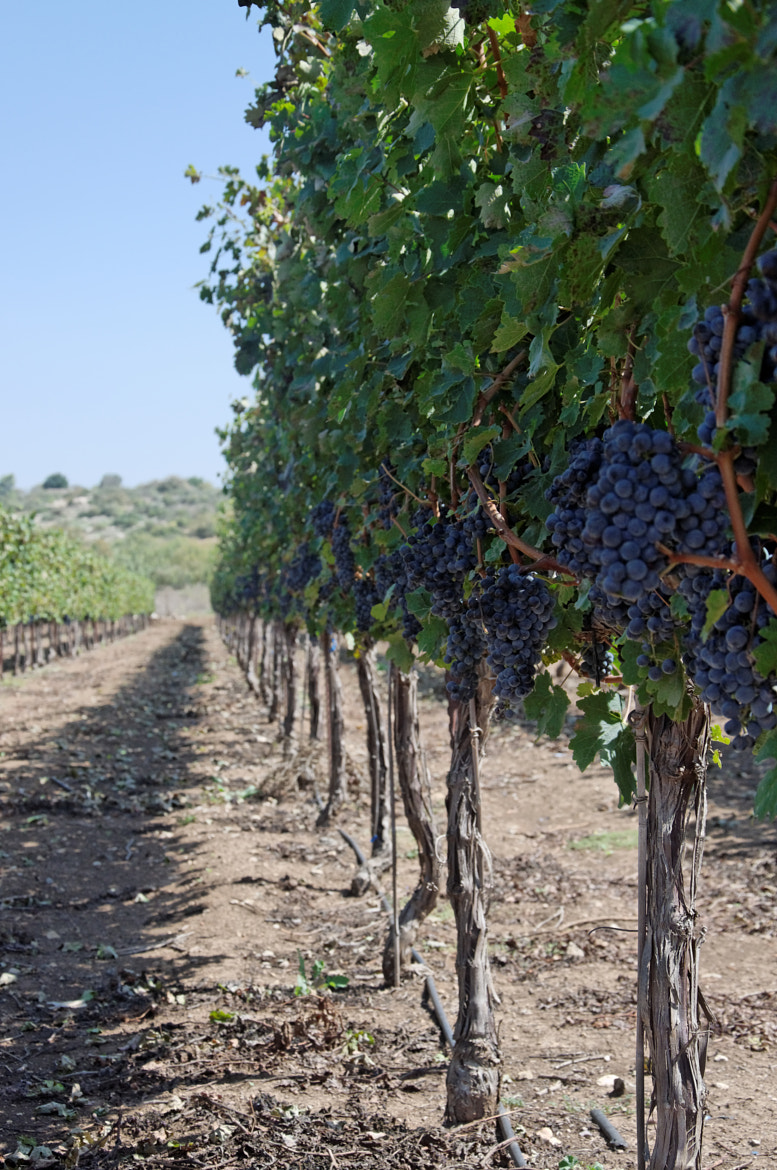 Photograph Grapes by Ron Rozentzweig on 500px