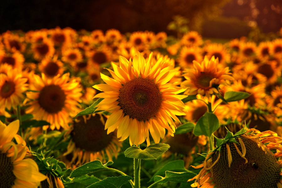 sunflower by Daniel Wechsler on 500px.com