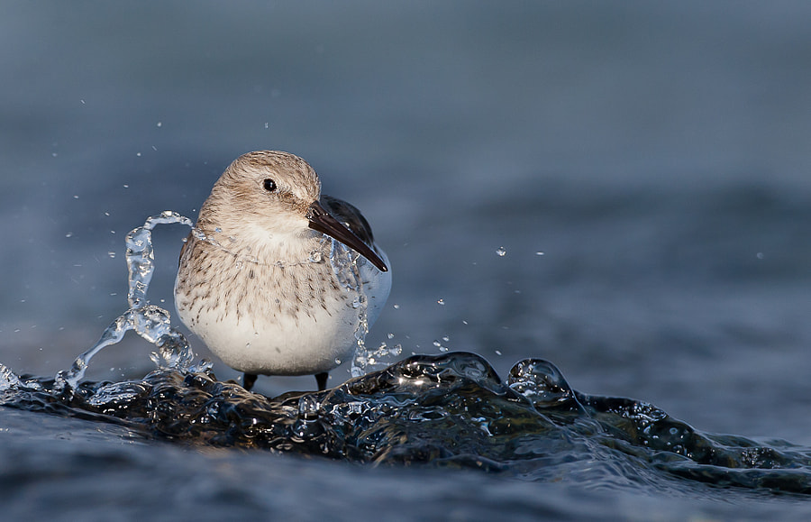 Dunlin by Geir  Jensen on 500px.com