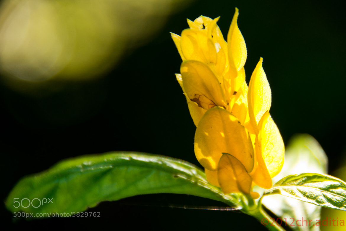 Photograph Yellow Flower by Christoforrus Aditia on 500px
