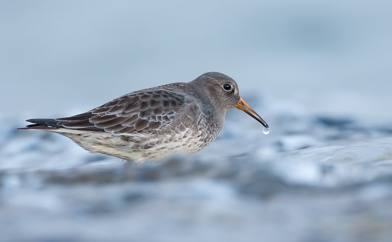 Photograph Purple Sandpiper by Geir  Jensen on 500px