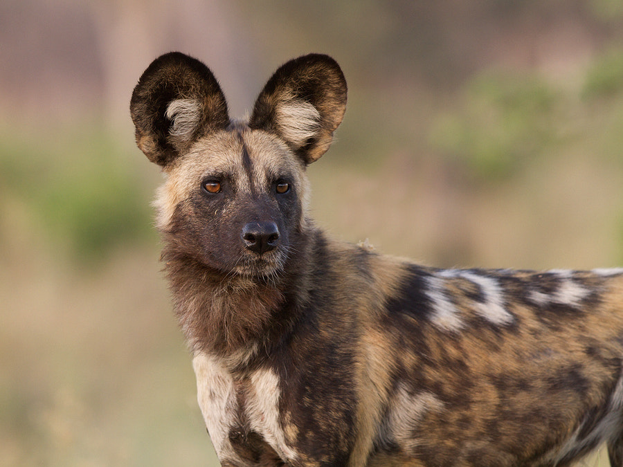 Photograph African Wild Dog by Thomas Retterath on 500px
