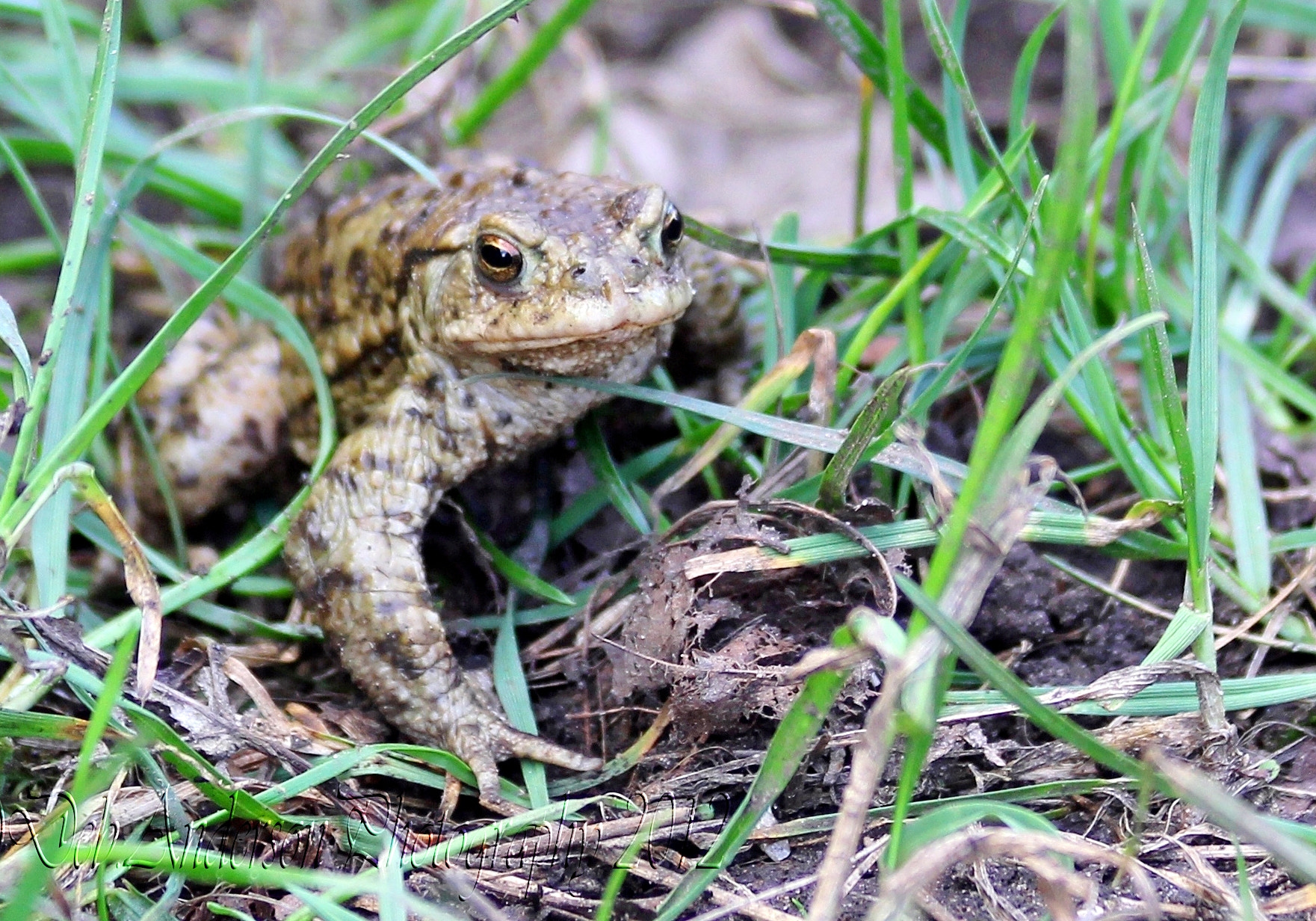 Photograph Common Toad. by Deborah Anderson-Marland on 500px