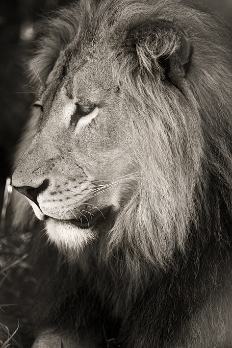 Photograph Lion King by Emmanuel Foto on 500px
