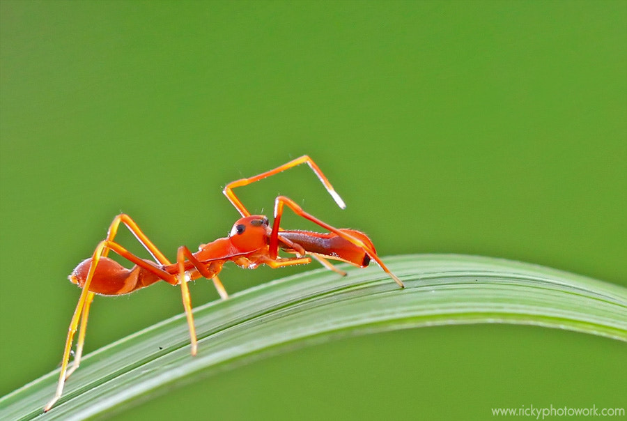 Photograph Spider ant.. by Ricky firmansyah on 500px