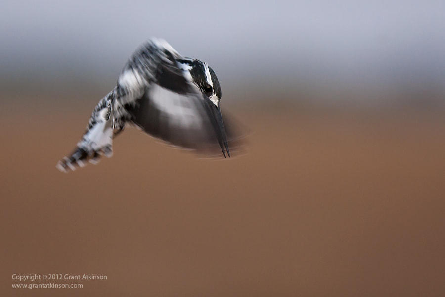 Photograph Hovering Pied Kingfisher by Grant Atkinson on 500px
