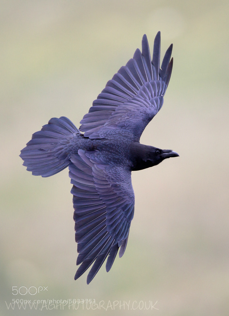 Photograph Raven by Tony House on 500px