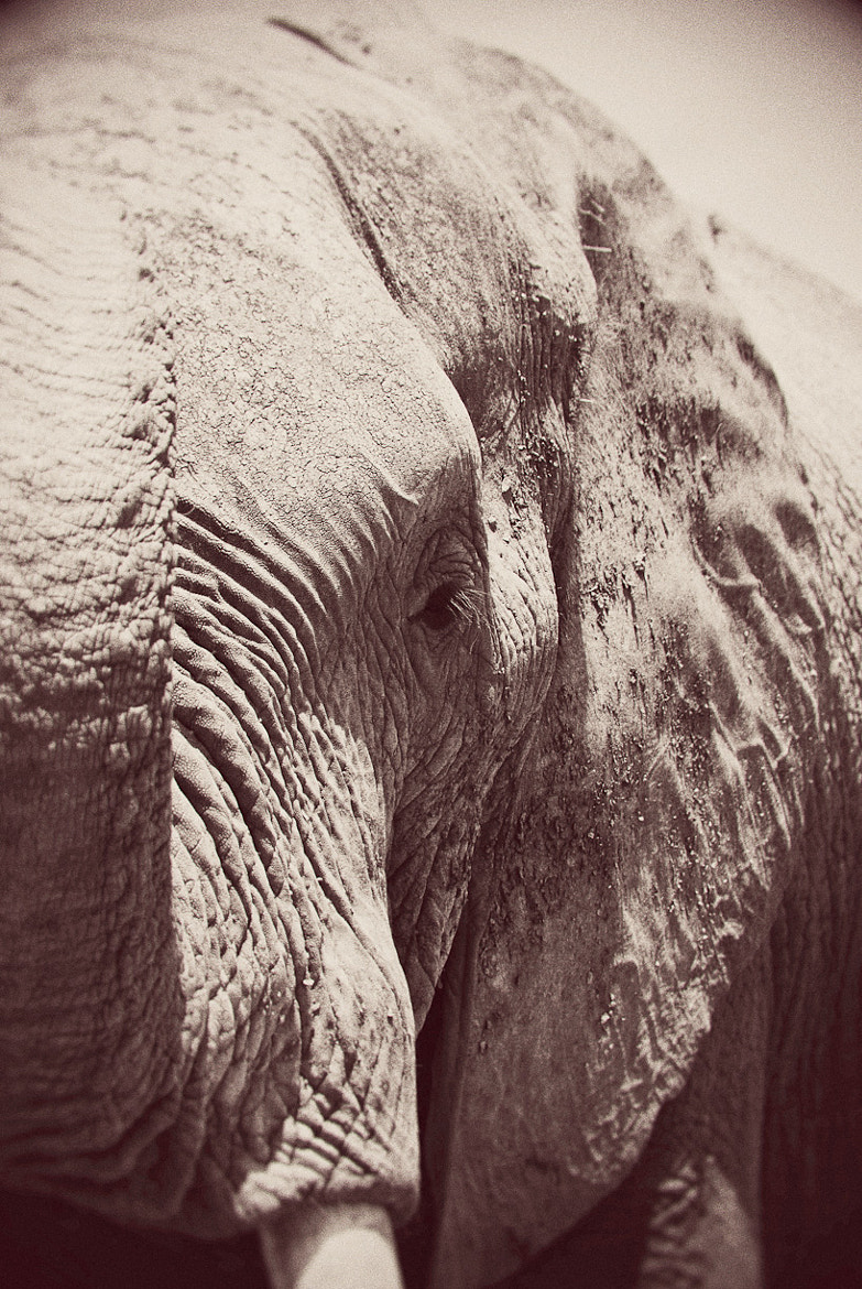Photograph Portrait of an Elephant II. by Darren Smith on 500px