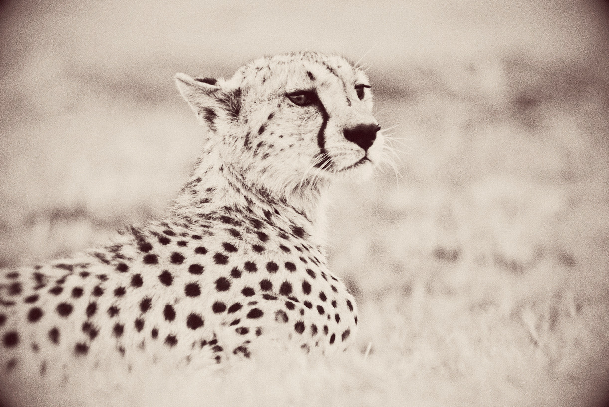 Photograph Portrait of a Cheetah. by Darren Smith on 500px