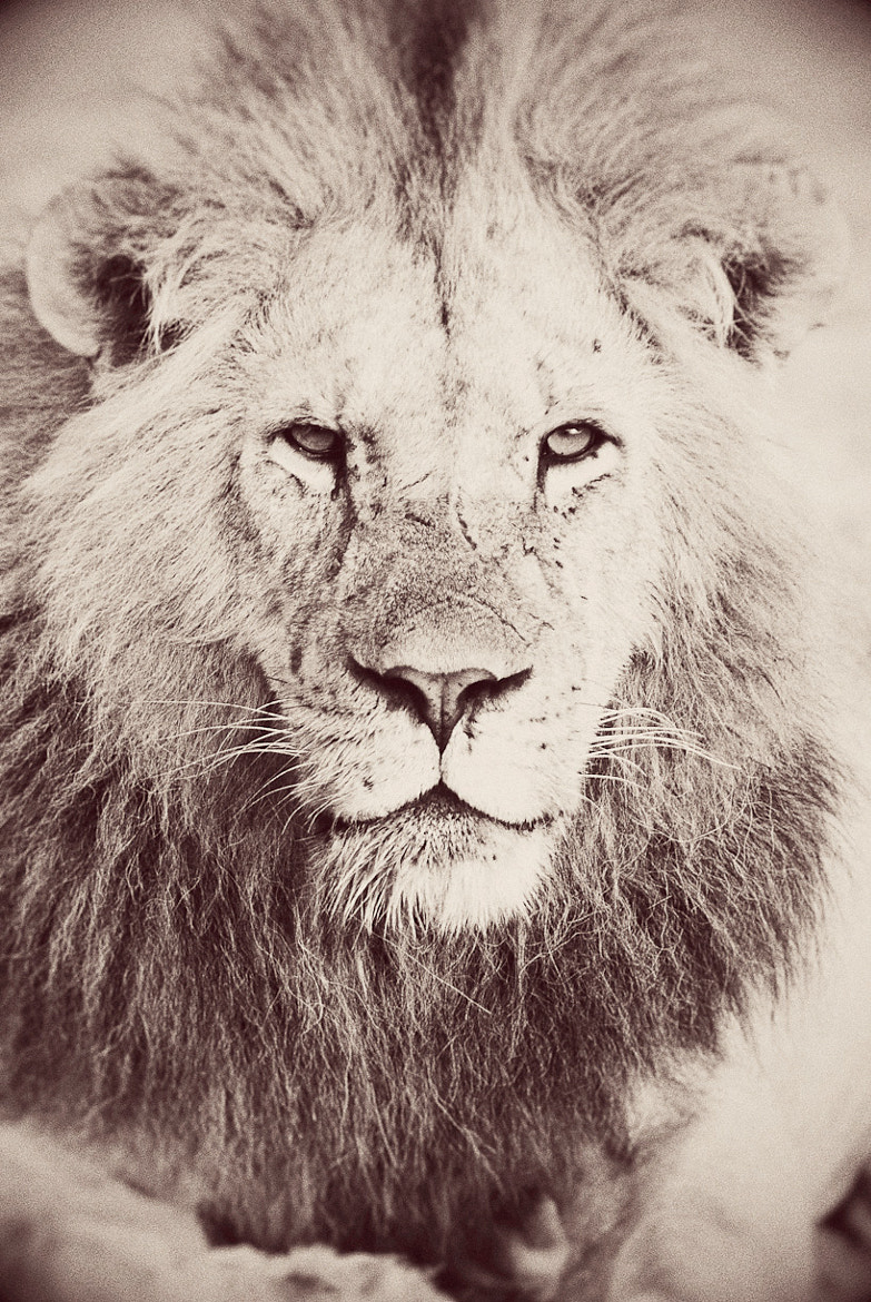 Photograph Portrait of a Lion. by Darren Smith on 500px