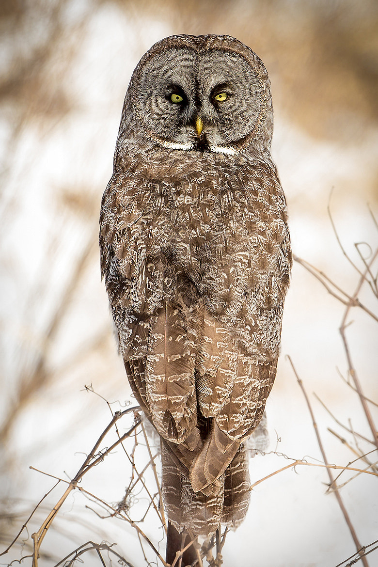 Photograph Great Grey Owl by K Koontz on 500px