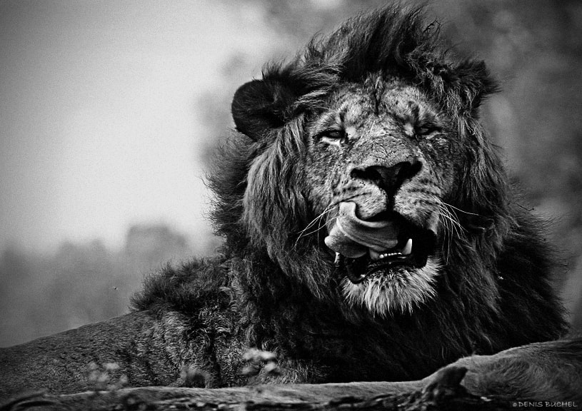 Photograph Lion and fly by Denis Buchel on 500px