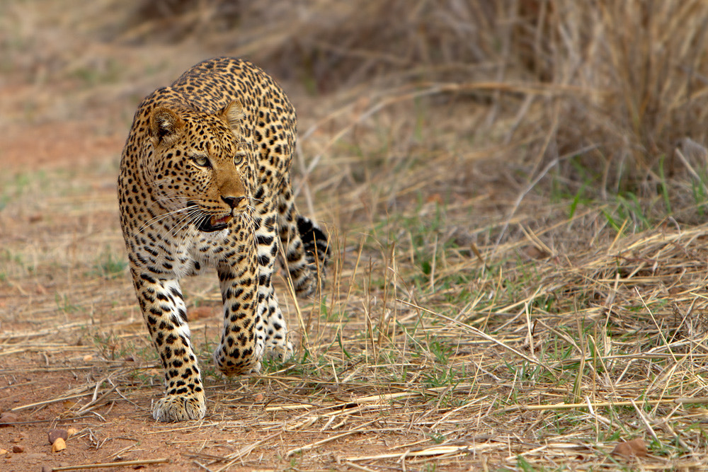 Photograph Leopardess by Thomas Retterath on 500px