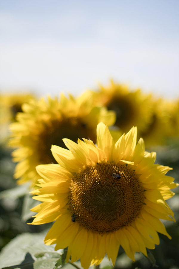 End of Summer Sunflowers