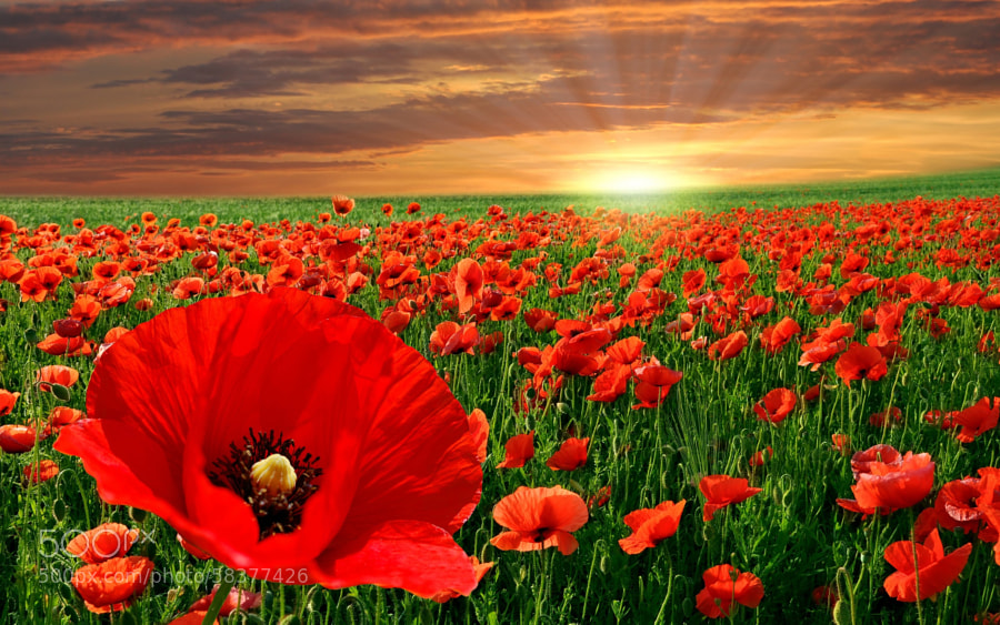 Photograph The   Beauty of Poppy Field by Partha Ghosh on 500px