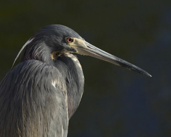 Photograph Tri-colored Heron by Bob Malbon on 500px