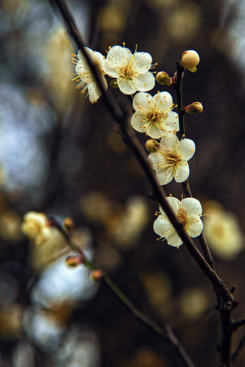 Photograph Plum Blossoms by Hanson Mao on 500px