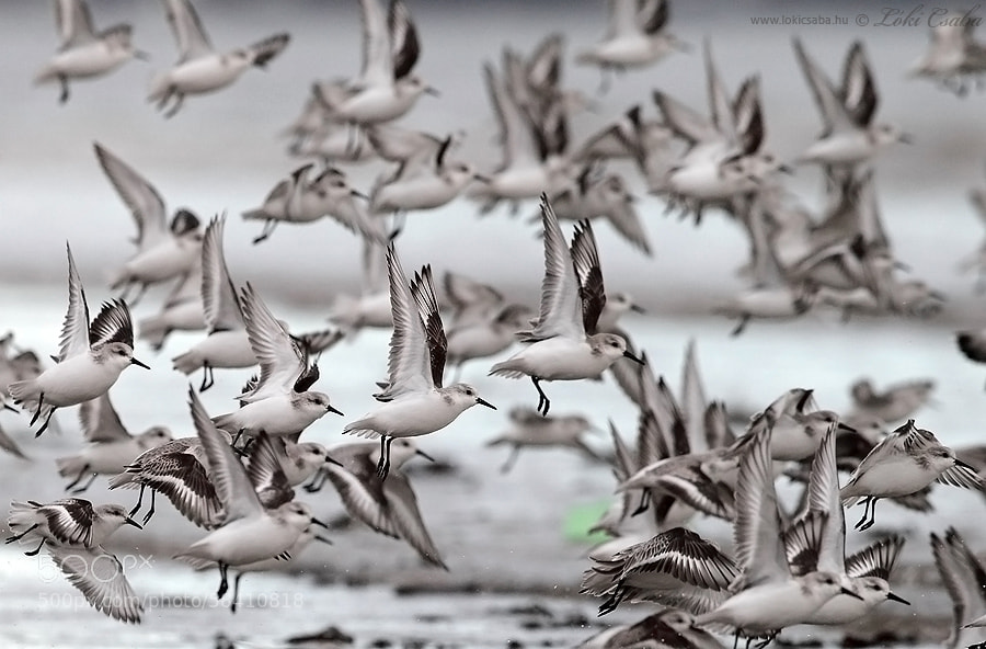 Photograph Sanderlings by Csaba Loki on 500px