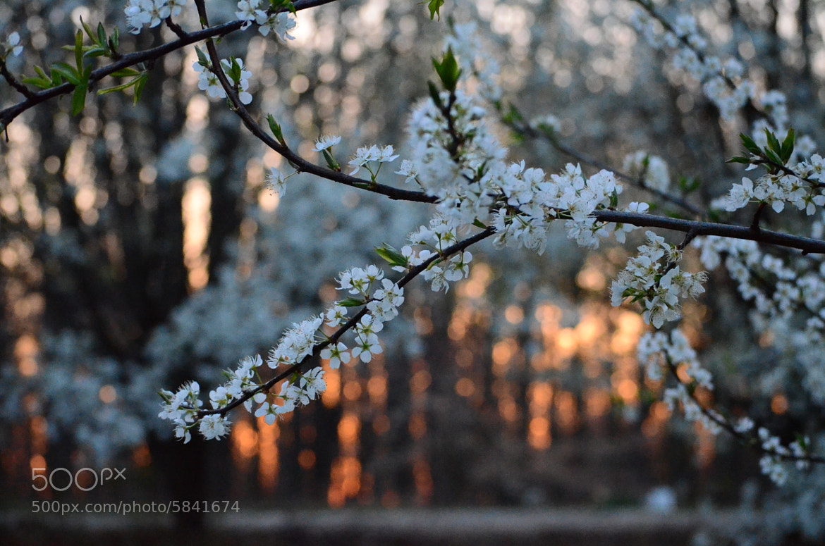 Photograph Pear Blossoms by Amber Castleberry on 500px