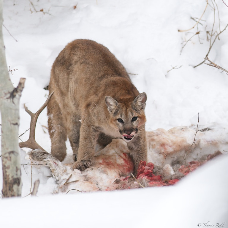 Photograph Mountain lion on kill by Tom Redd on 500px