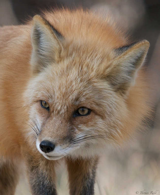 Photograph Fox portrait by Tom Redd on 500px