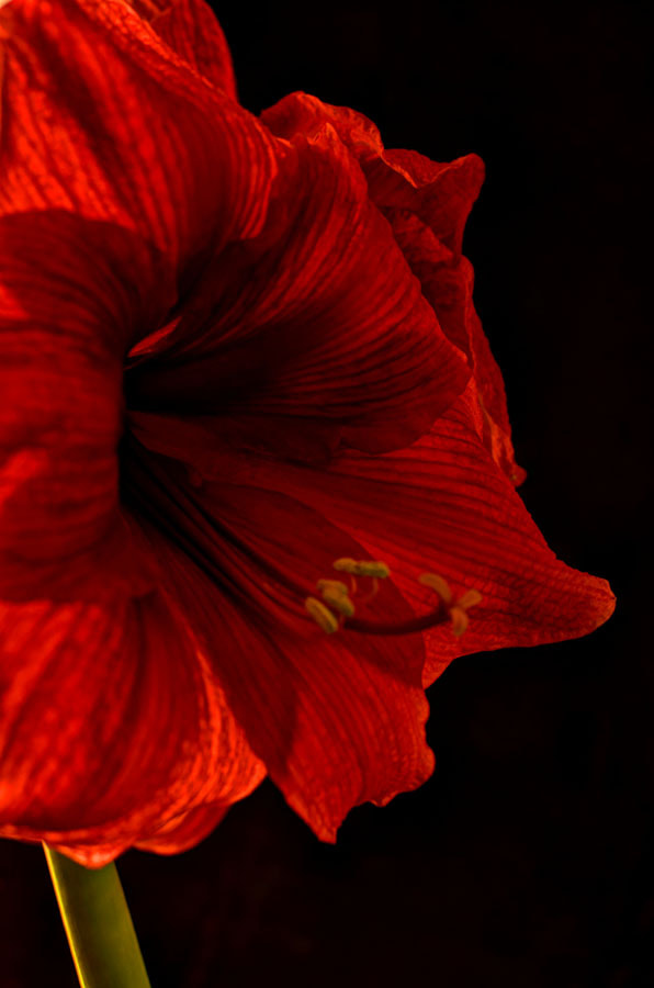 Photograph Amaryllis by Mornin' by Kyle Dyson on 500px