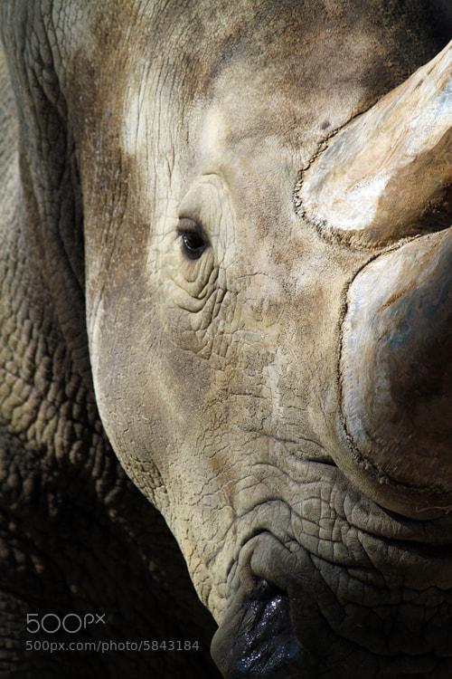 Photograph White Rhino Dark - Südafrika (Kruger Nationalpark) by Benjamin Nocke on 500px