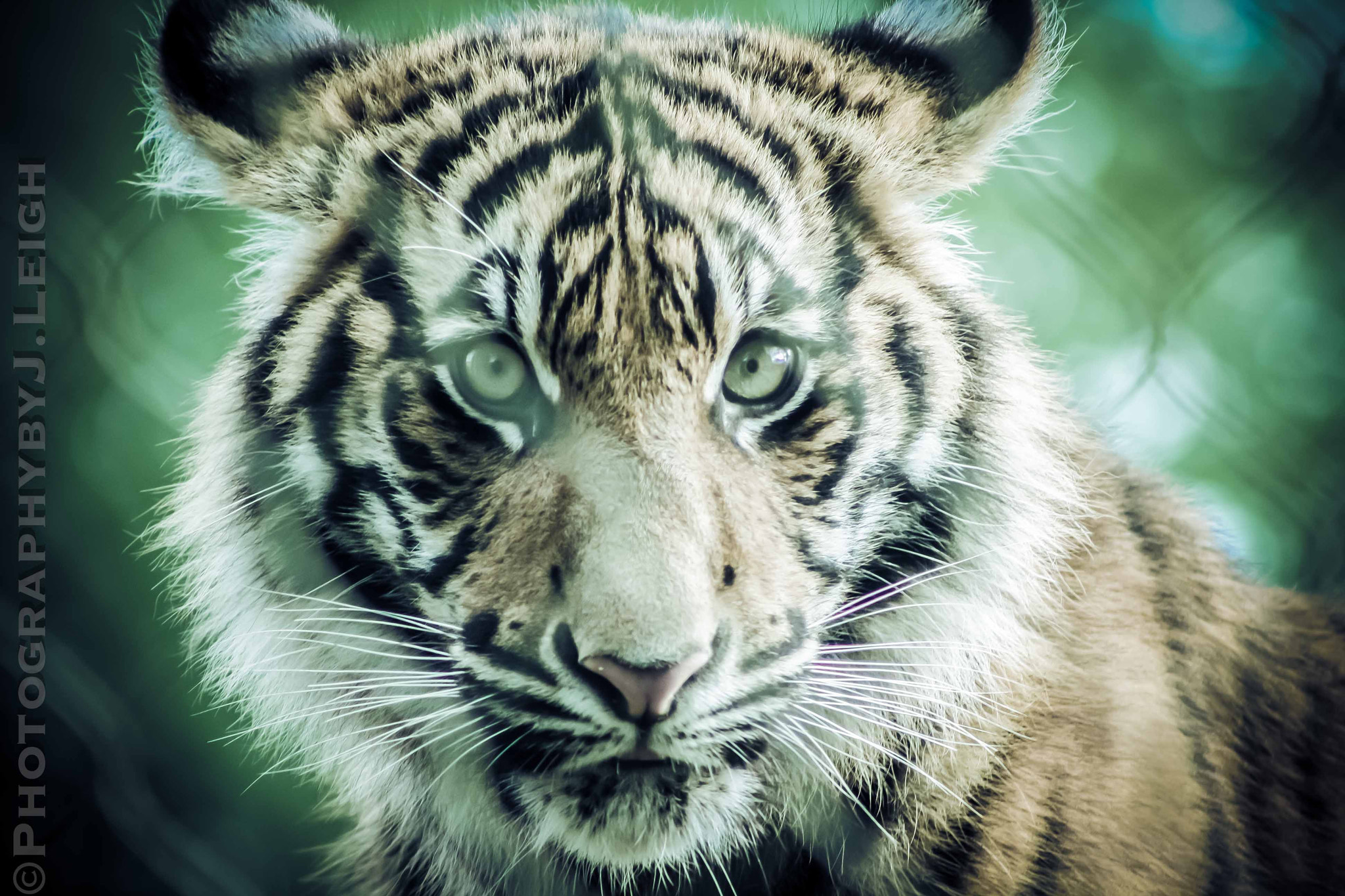 Photograph tiger. by Jennifer Leigh on 500px