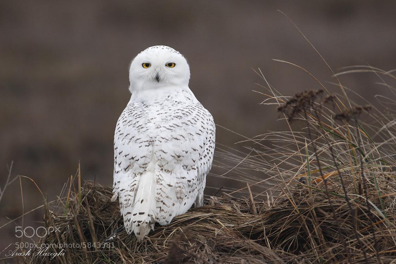 Photograph Snowy owl in habitat by Ari Hazeghi on 500px