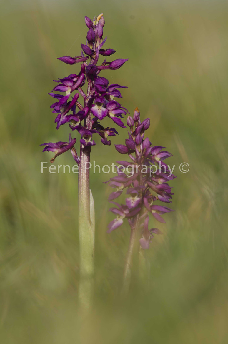 Photograph Early purple orchid by Ferne Glannan-MacRae on 500px