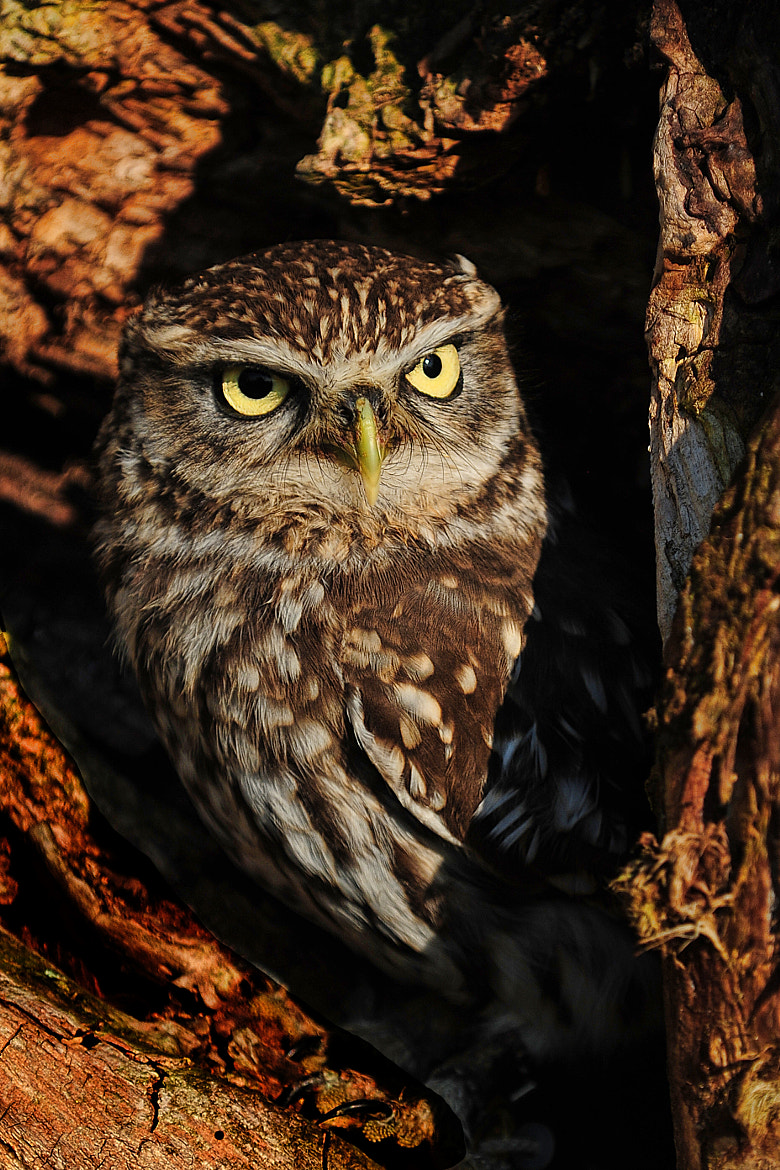 Photograph Little Owl by Philip F Higgins on 500px
