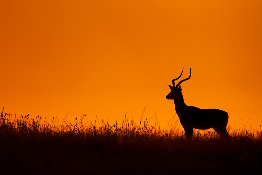 Photograph The Impala by Mario Moreno on 500px