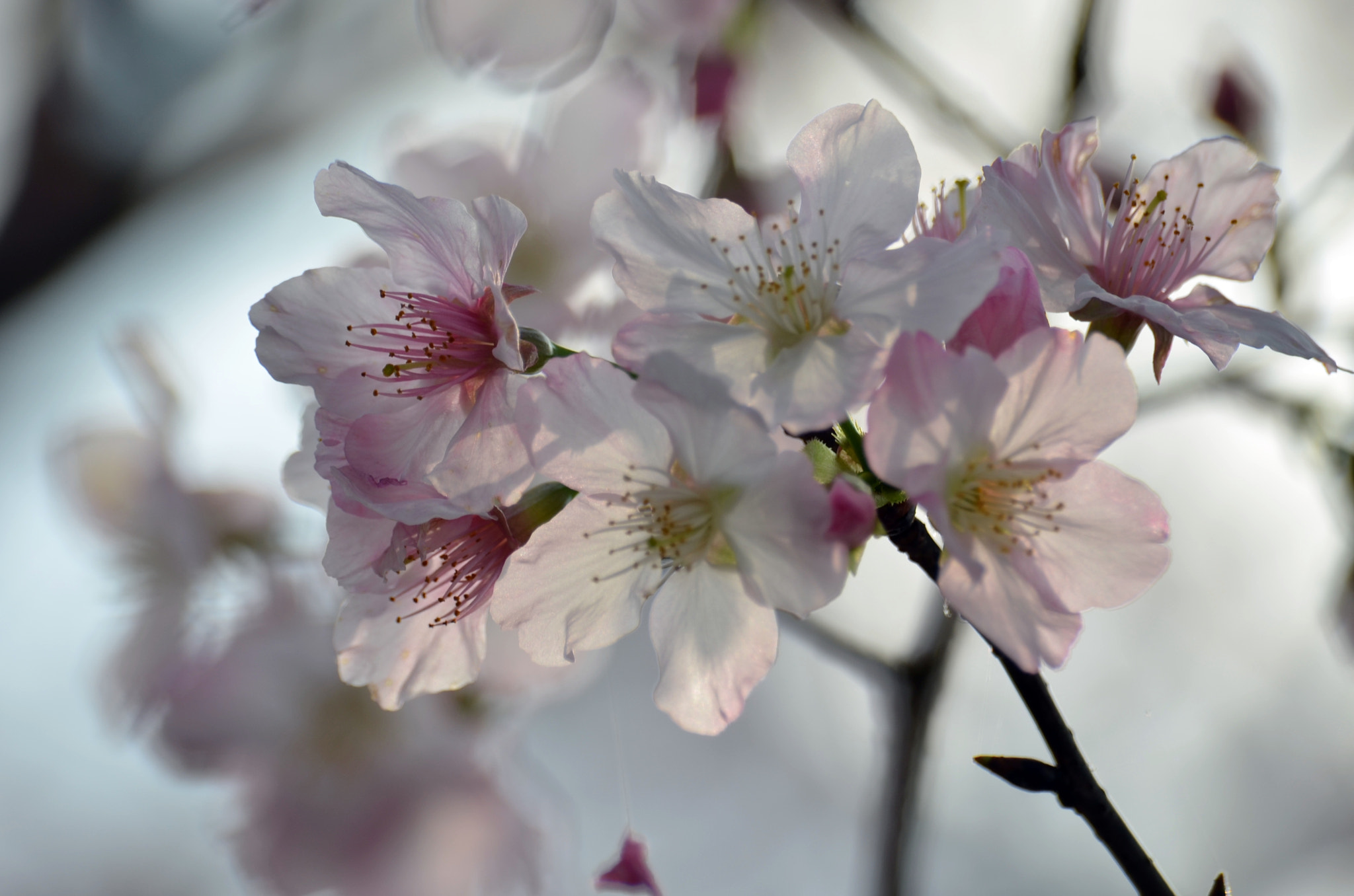 Photograph cherry blossoms -3 by Shih Leslie on 500px