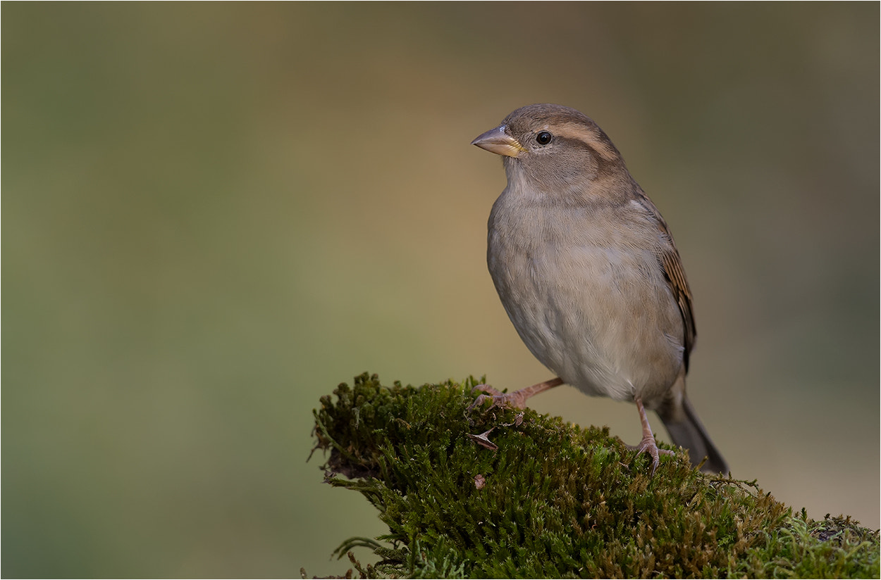 Photograph sparrow / Spatz / Sperling_1 by Hans Rentsch on 500px