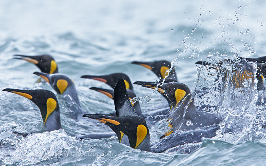 Photograph King Penguin Splash by Marius Coetzee on 500px