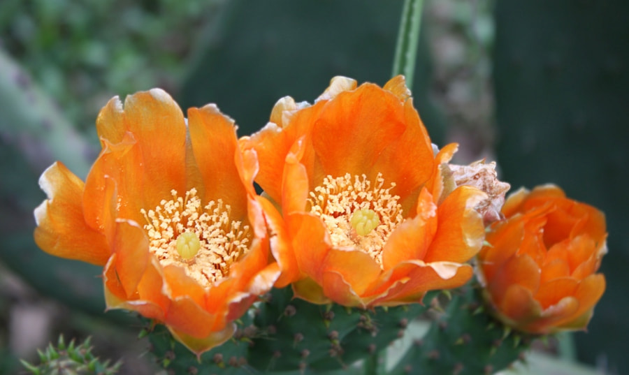 Photograph Prickly pear by Phil Cartwright on 500px