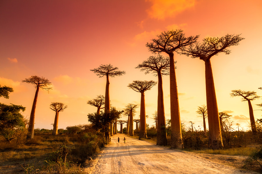 Baobab Alley sunset by Dennis van de Water on 500px.com