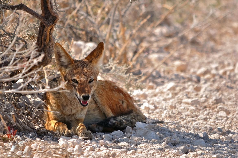 Photograph Jackal - Luderitz Peninsula, Namibia by Sempreingiro . on 500px