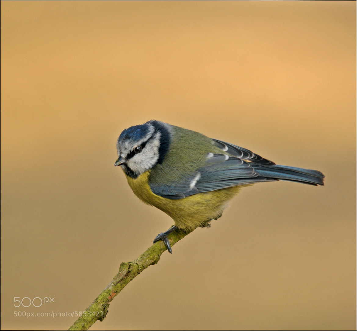 Photograph Bluetit by Graham Turner on 500px