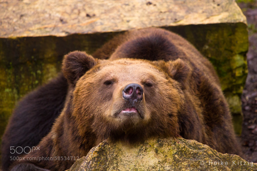 Tired brown bear