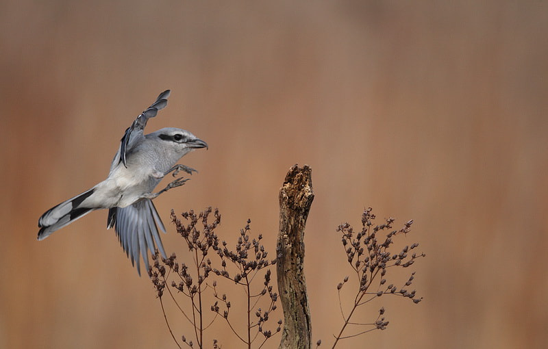 Photograph northern shrike by peter  makuch on 500px