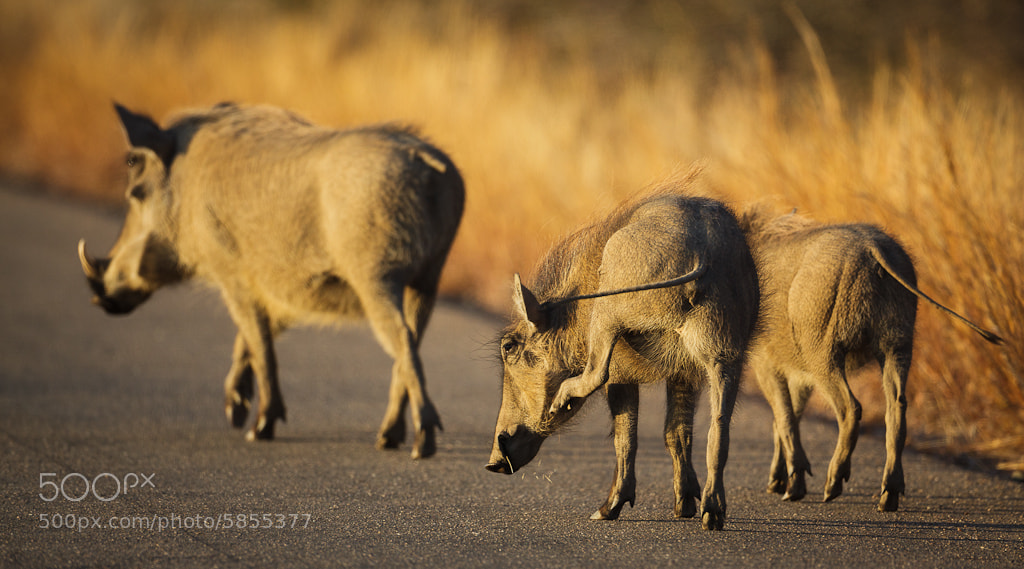 Photograph Warthog family by Allan Høgholm on 500px