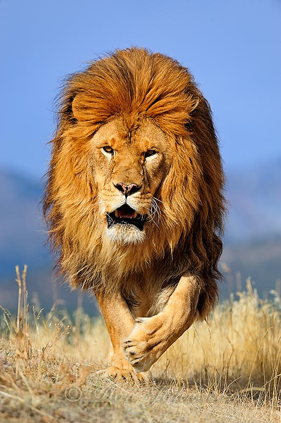 Photograph Barbary lion by Don Johnston on 500px