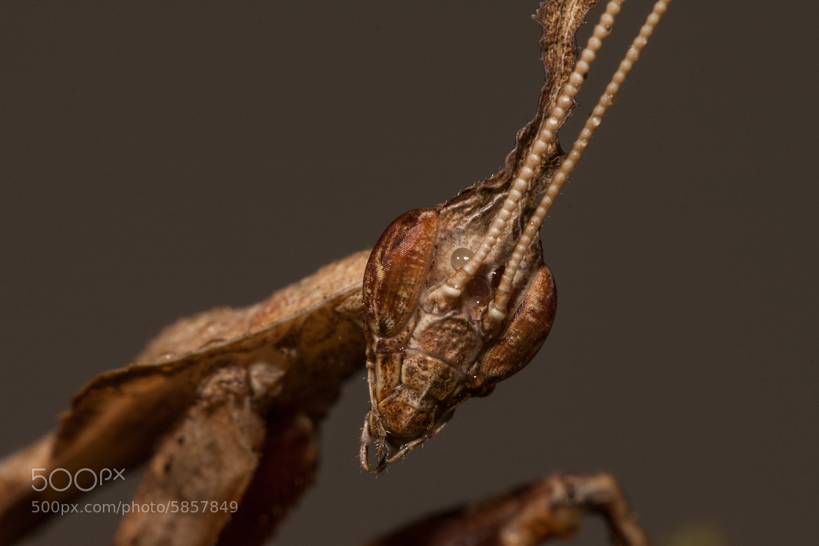 Photograph Ghost Mantis. by Ramon Quaedvlieg on 500px