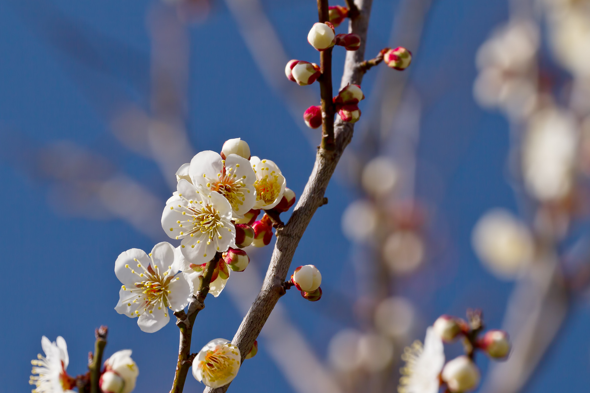 Photograph UME by MIYAMOTO Y on 500px