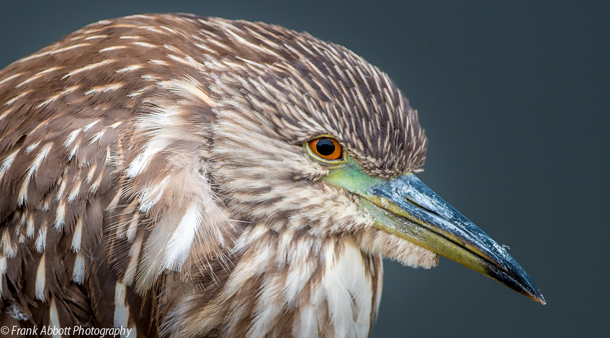 Photograph Night Heron by Franklin Abbott on 500px