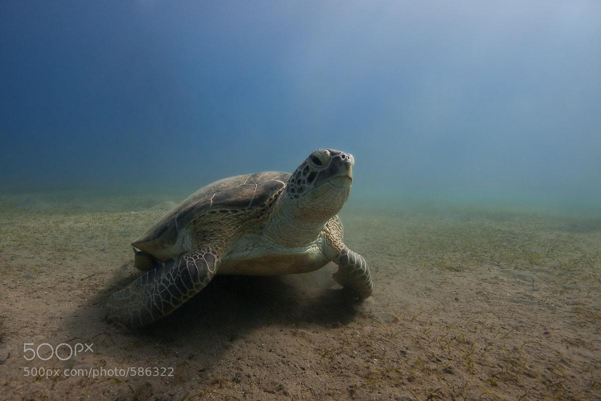 Photograph sea turtle by Matthias Erla on 500px