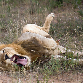Lion porn by Jochen Van de Perre. Copy the code to your website