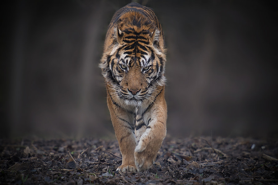 Tiger photography -Face to Face by Erwann Maignan on 500px.com